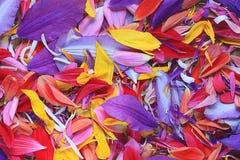 Naturalna tekstura stubarwni kwiatów płatki, Zdjęcia Stock