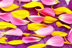 Naturalna tekstura stubarwni kwiatów płatki Fotografia Royalty Free