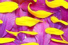 Naturalna tekstura stubarwni kwiatów płatki Obraz Stock