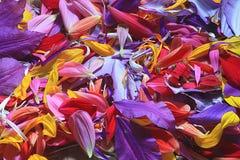 Naturalna tekstura stubarwni kwiatów płatki, kolorowa Obraz Royalty Free