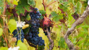 Naturalna wiązka winogrona zdjęcia stock