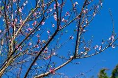 Naturalna Wietnamska górzysta brzoskwinia kwitnie w wczesnej wiośnie Zdjęcie Stock