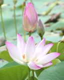 Naturalna Wodna leluja, Piękny światło słoneczne i światło słoneczne w ranku, zdjęcia stock