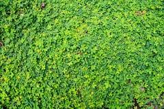 Naturalna zielona liść ściana zdjęcie stock