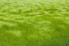 Naturalna zielona trawa z fala wiatr tło szczegółów tekstury okno stary drewniane bell świątecznej element projektu Fala wiatrowy Obrazy Royalty Free