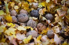 Naturalne życiorys dokrętki w naturze Zdjęcie Royalty Free
