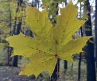Naturalnego coleus piękna bluszcza koloru sezonu flor jaskrawego żółtego abstrakcjonistycznego drzewnego ulistnienia kwiatu jesie Fotografia Stock