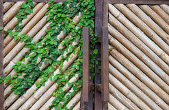 Naturalnego koloru żółtego bambusa sucha ściana, brama dla tła, z bindweed opuszcza Zdjęcia Stock