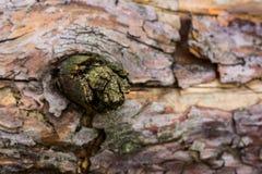 Naturalnego tła sosnowy konar na rozmytym tle drzewny bagażnik zdjęcie royalty free
