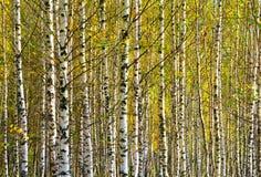 Naturalnego tła brzoza horyzontalna Obrazy Royalty Free