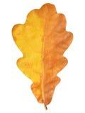 Naturalnej jesieni dębowy liść na bielu Zdjęcia Stock