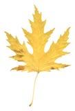 Naturalnej jesieni topolowy liść na bielu Fotografia Royalty Free