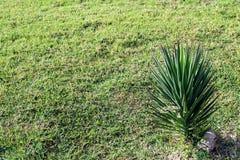 Naturalnej trawy końcówki mała palma obraz royalty free