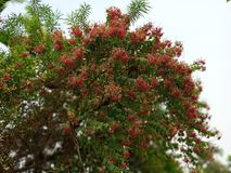 Naturalni czerwień kwiaty fotografia stock