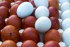 Naturalni ekologiczni jajka brown i błękitny kolor Obrazy Stock