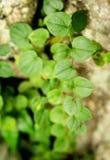 Naturalni i zieleni liście Fotografia Royalty Free