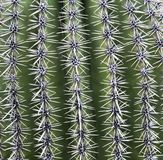 Naturalni wzory w naturze na kaktusach w Tucson Zdjęcie Royalty Free