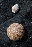 Naturalnie suszący w górę Dennego czesaka Shell na ostrości na górze Czarnej skały z białym bivalve skorupy milczkiem w odległośc Obraz Stock