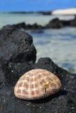 Naturalnie suszymy w górę Dennego czesaka Shell na pokazie na górze Czarnej skały z niebem, morze, fala i więcej, kołysamy w tle Obraz Stock