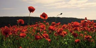 Naturalny życie wciąż Makowy kwiatu pole, zbiera obraz stock