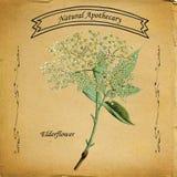 Naturalny Apothecary Elderflower ilustracji