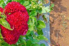 Naturalny czerwony t?o zdjęcie royalty free