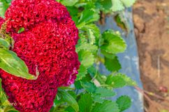 Naturalny czerwony t?o obrazy royalty free