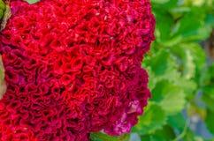 Naturalny czerwony t?o zdjęcia stock
