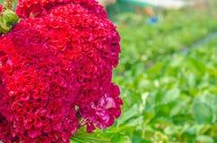 Naturalny czerwony t?o zdjęcia royalty free