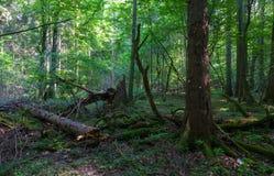 Naturalny deciduous stojak w lecie Fotografia Stock