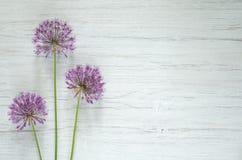 Naturalny drewniany tło Allium menchia kwitnie na białym drewnianym tle Obraz Stock