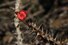 Naturalny drut kolczasty Fotografia Stock