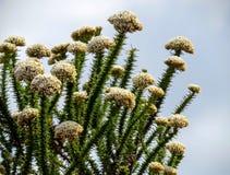 Naturalny Fynbos kwiecenie w Afryka fotografia royalty free