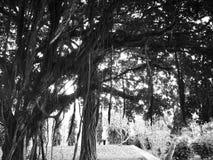 Naturalny i drzewa pojęcie Banyan drzewo jest figą który zaczyna swój obrazy royalty free