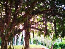 Naturalny i drzewa pojęcie Banyan drzewo jest figą który zaczyna swój zdjęcie stock