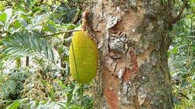 Naturalny jackfruit chlebowej owoc obwieszenie od drzewa na Seychel zdjęcia stock