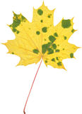 Naturalny jesieni marple liść na bielu Zdjęcie Royalty Free