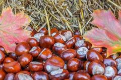 Naturalny jesienny tło siano, kasztany i kolorowy liść klonowy, fotografia royalty free