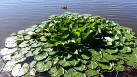 Naturalny jezioro I Lotus zdjęcie royalty free