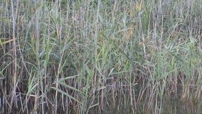 Naturalny jezioro z płochy i natury głosem zdjęcie wideo