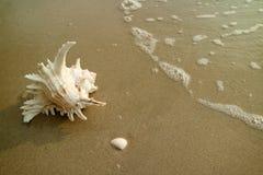 Naturalny Kilkuramienny Murex Shell Odizolowywający na Mokrym piasku Wyrzucać na brzeg z Backwash obrazy royalty free