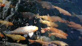 Naturalny koi ryby ruch zbiory wideo