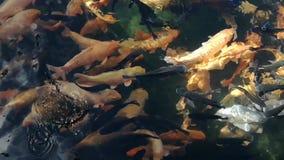 Naturalny koi ryby ruch zbiory