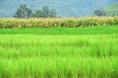 Naturalny krajobrazowy widok kukurydzany pole i ryżu pole Zdjęcie Royalty Free