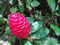 Naturalny kwiat w sri lance Fotografia Stock