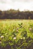 Naturalny kwiatonośny koniczyny pole Fotografia Royalty Free