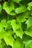Naturalny lata tło winogrono opuszcza - w łacińskim Vitis Zdjęcie Stock