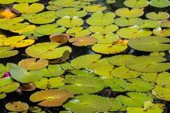 Naturalny lotosowy staw Fotografia Royalty Free