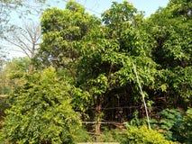 NATURALNY MANGOWY drzewo & x28; INDIAN& x29; Zdjęcie Royalty Free