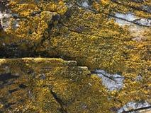 Naturalny mech liszaj na starzejącym się drewnianym stole textured nawierzchniowego tło Plenerowy Mikro życia pojęcie zdjęcie stock